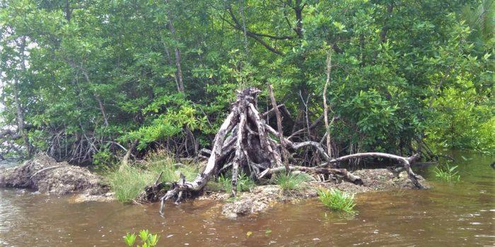 Foto : Hutan Mangrove Kecamatan Pulau Maya